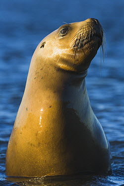 South American Sea Lion (Otaria flavescens) in shallow water, sunset, March, Valdes Penisnsula, Patagonia, Argentina  -  Theo Allofs