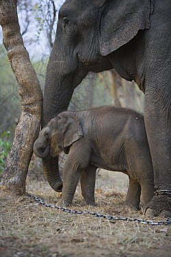Asian Elephant (Elephas maximus) 4 week old calf and chained mother pushing against tree, the mother has been trained as a working elephant for tourism and tiger tracking, India  -  Theo Allofs