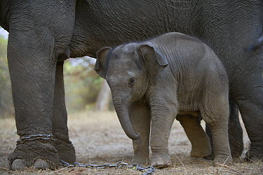 Asian Elephant (Elephas maximus) 4 week old calf next to chained mother, the mother has been trained as a working elephant for tourism and tiger tracking, India  -  Theo Allofs