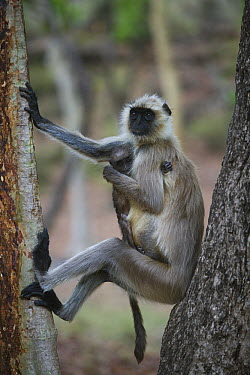Hanuman Langur (Semnopithecus entellus) mother with baby in tree, India  -  Theo Allofs