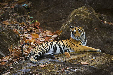 Bengal Tiger (Panthera tigris tigris) 16 month old juvenile resting on rock in shady forest, dry season in April, Bandhavgarh National Park, India  -  Theo Allofs
