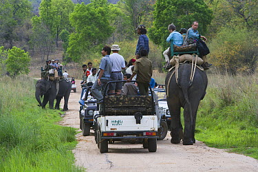 Asian Elephant (Elephas maximus) carrying tourists along with game drive vehicles searching for tigers in meadow, dry season, April, Bandhavgarh National Park, India  -  Theo Allofs