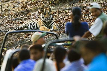 Bengal Tiger (Panthera tigris tigris) tourists in game drive vehicles watching juvenile, Bandhavgarh National Park, India  -  Theo Allofs