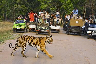 Bengal Tiger (Panthera tigris tigris) juvenile, large group of tourists drive vehicles watching it crossing a dirt track, Bandhavgarh National Park, India  -  Theo Allofs