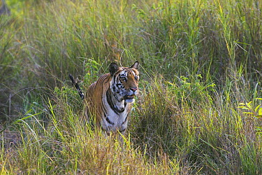 Bengal Tiger (Panthera tigris tigris) tigress in meadow with tall dry grass, dry season, April, Bandhavgarh National Park, India  -  Theo Allofs