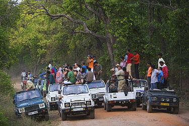 Bengal Tiger (Panthera tigris tigris) tourist crowd in Bandhavgarh National Park, India  -  Theo Allofs