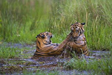 Bengal Tiger (Panthera tigris tigris) 16 month old juveniles playing in water, dry season, April, Bandhavgarh National Park, India  -  Theo Allofs