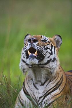 Bengal Tiger (Panthera tigris tigris) dominant male lying in green grass, picking up scent, close-up, dry season, April, Bandhavgarh National Park, India  -  Theo Allofs