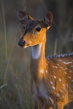 Axis Deer (Axis axis) female, portrait, April, dry season, Bandhavgarh National Park, India  -  Theo Allofs