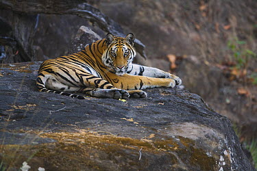 Bengal Tiger (Panthera tigris tigris) resting on a rock in shady area during mid morning heat, dry season, April, Bandhavgarh National Park, India  -  Theo Allofs