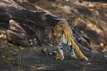 Bengal Tiger (Panthera tigris tigris) standing on rock in shady area, snarling, dry season, April, Bandhavgarh National Park, India  -  Theo Allofs