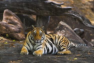 Bengal Tiger (Panthera tigris tigris) lying on rock in shady area, dry season, April, Bandhavgarh National Park, India  -  Theo Allofs