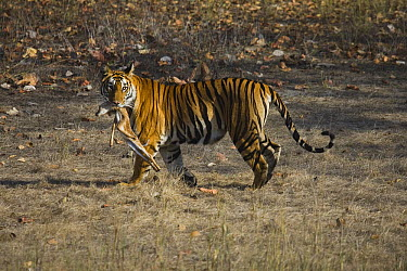 Bengal Tiger (Panthera tigris tigris) tigress carrying freshly killed Axis Deer (Axis axis) fawn, dry season, Bandhavgarh National Park, India  -  Theo Allofs