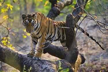 Bengal Tiger (Panthera tigris tigris) 17 month old juvenile in tree, late afternoon, dry season, Bandhavgarh National Park, India  -  Theo Allofs