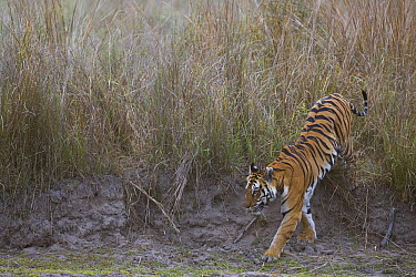 Bengal Tiger (Panthera tigris tigris) tigress coming out of tall, dry grass early morning, dry season, Bandhavgarh National Park, India  -  Theo Allofs