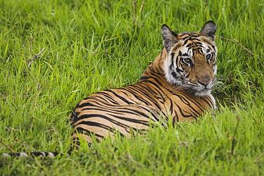 Bengal Tiger (Panthera tigris tigris) 17 month old juvenile lying in short green grass of wet meadow, early morning, dry season, Bandhavgarh National Park, India  -  Theo Allofs