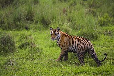 Bengal Tiger (Panthera tigris tigris) 17 month old juvenile walking in short green grass of wet meadow, early morning, dry season, Bandhavgarh National Park, India  -  Theo Allofs