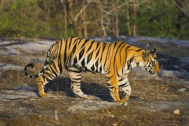 Bengal Tiger (Panthera tigris tigris) 17 month old male juvenile walking in open area, early morning, dry season, Bandhavgarh National Park, India  -  Theo Allofs