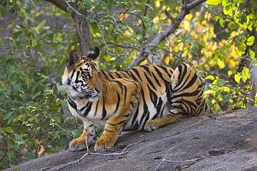 Bengal Tiger (Panthera tigris tigris) 17 month old juvenile sitting on rock in jumping position, early morning, dry season, Bandhavgarh National Park, India  -  Theo Allofs