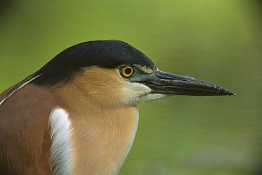 Rufous Night-Heron (Nycticorax caledonicus) portrait, Australia  -  Theo Allofs