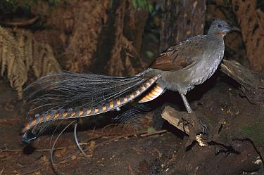 Superb Lyrebird (Menura novaehollandiae) male, Yarra Ranges National Park, Australia  -  Theo Allofs