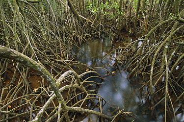 Mangrove root system exposed during low tide, Australia  -  Theo Allofs