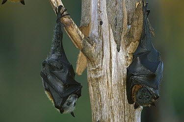 Gray-headed Flying Fox (Pteropus poliocephalus) pair roosting, Ipswich, Australia  -  Theo Allofs