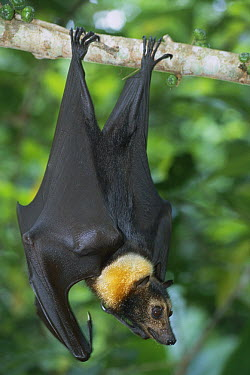 Spectacled Flying Fox (Pteropus conspicillatus) hanging in fig tree, Daintree National Park, Australia  -  Theo Allofs
