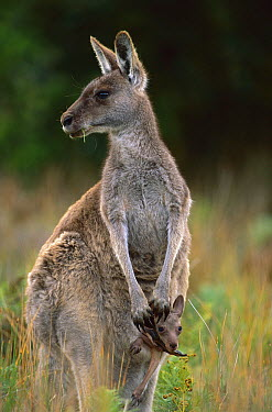 Eastern Grey Kangaroo (Macropus giganteus) mother with joey in her pouch, Wilsons Promontory National Park, Australia  -  Theo Allofs