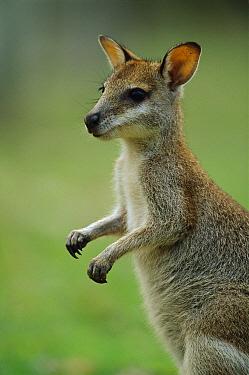Agile Wallaby (Macropus agilis) juvenile, Bowling Green Bay National Park, Australia  -  Theo Allofs