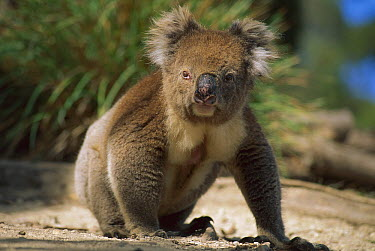 Koala (Phascolarctos cinereus) male on the ground on his way from one tree to the next, Kangaroo Island, Australia  -  Theo Allofs