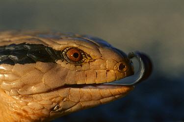 Eastern Blue-tongue Skink (Tiliqua scincoides) flicking tongue, Australia  -  Theo Allofs
