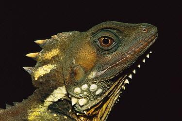 Boyd's Forest Dragon (Hypsilurus boydii) portrait, Atherton Tableland, Australia  -  Theo Allofs
