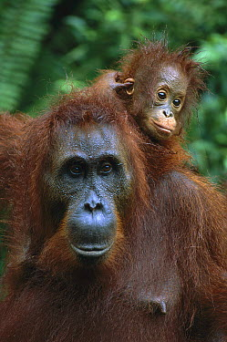 Orangutan (Pongo pygmaeus) mother with baby on her back, Tanjung National Park, Borneo, Malaysia  -  Theo Allofs