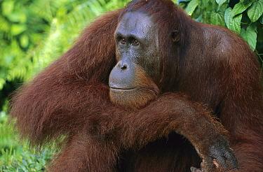 Orangutan (Pongo pygmaeus) young male resting head on arm, Tanjung Puting National Park, Borneo, Malaysia  -  Theo Allofs