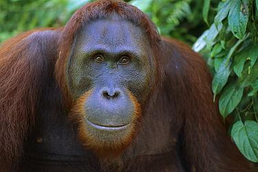 Orangutan (Pongo pygmaeus) young male, Tanjung Puting National Park, Borneo, Malaysia  -  Theo Allofs