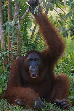 Orangutan (Pongo pygmaeus) young male calling, Tanjung Puting National Park, Borneo, Malaysia  -  Theo Allofs