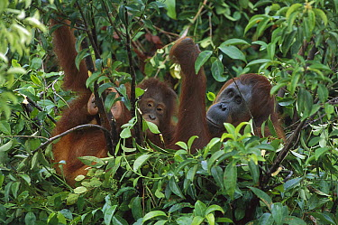 Orangutan (Pongo pygmaeus) mother and juvenile in nest made of branches and leaves, Tanjung Puting National Park, Borneo, Malaysia  -  Theo Allofs