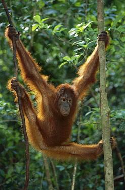Orangutan (Pongo pygmaeus) juvenile stretching out, Tanjung Puting National Park, Borneo, Malaysia  -  Theo Allofs