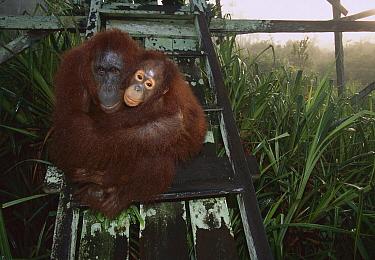 Orangutan (Pongo pygmaeus) mother and juvenile on observation tower, Tanjung Puting National Park, Borneo, Malaysia  -  Theo Allofs