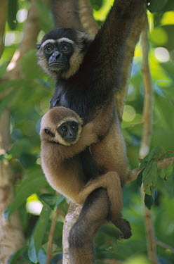 M?ller's Bornean Gibbon (Hylobates muelleri) mother and baby hanging in trees, Borneo, Malaysia  -  Theo Allofs