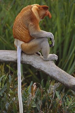 Proboscis Monkey (Nasalis larvatus) male sitting on branch, Sabah, Borneo, Malaysia  -  Theo Allofs