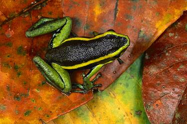 Three-striped Poison Dart Frog (Ameerega trivittata), Tambopata River, Peru  -  Theo Allofs