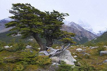 Southern Beech (Nothofagus sp) near Mount Fitzroy, Argentina  -  Theo Allofs