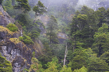 Andean forest on steep cliff, Argentina  -  Theo Allofs
