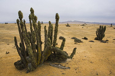 Cacti near the coast where regular fog enables growth of lichens on the cacti, Pan de Azucar National Park, Chile  -  Theo Allofs