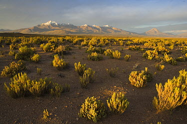 Low bushes on altiplano at sunset with volcanoes in the background near Volcan Isluga National Park, northern Chile  -  Theo Allofs