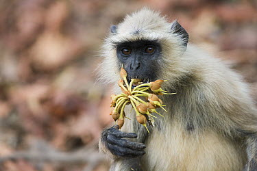 Hanuman Langur (Semnopithecus entellus) eating mahua fruit in April during the dry season, India  -  Theo Allofs