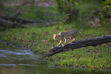 Jungle Cat (Felis chaus) walking on fallen tree looking to cross river in April during the dry season, India  -  Theo Allofs
