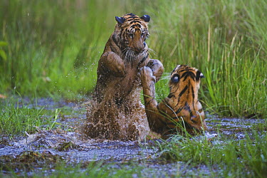 Bengal Tiger (Panthera tigris tigris) cubs, sixteen month old, playing in water in April during the dry season, India  -  Theo Allofs